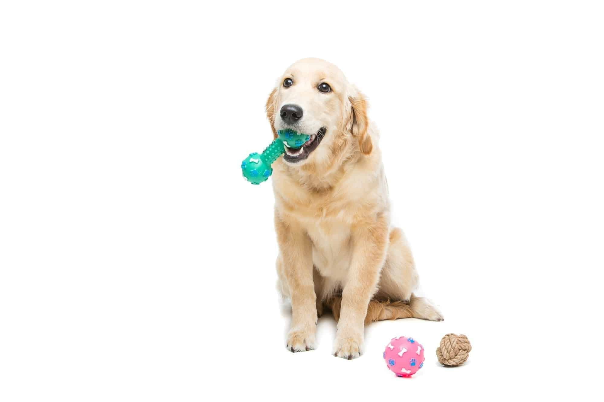 Dog chewing her nylon bone