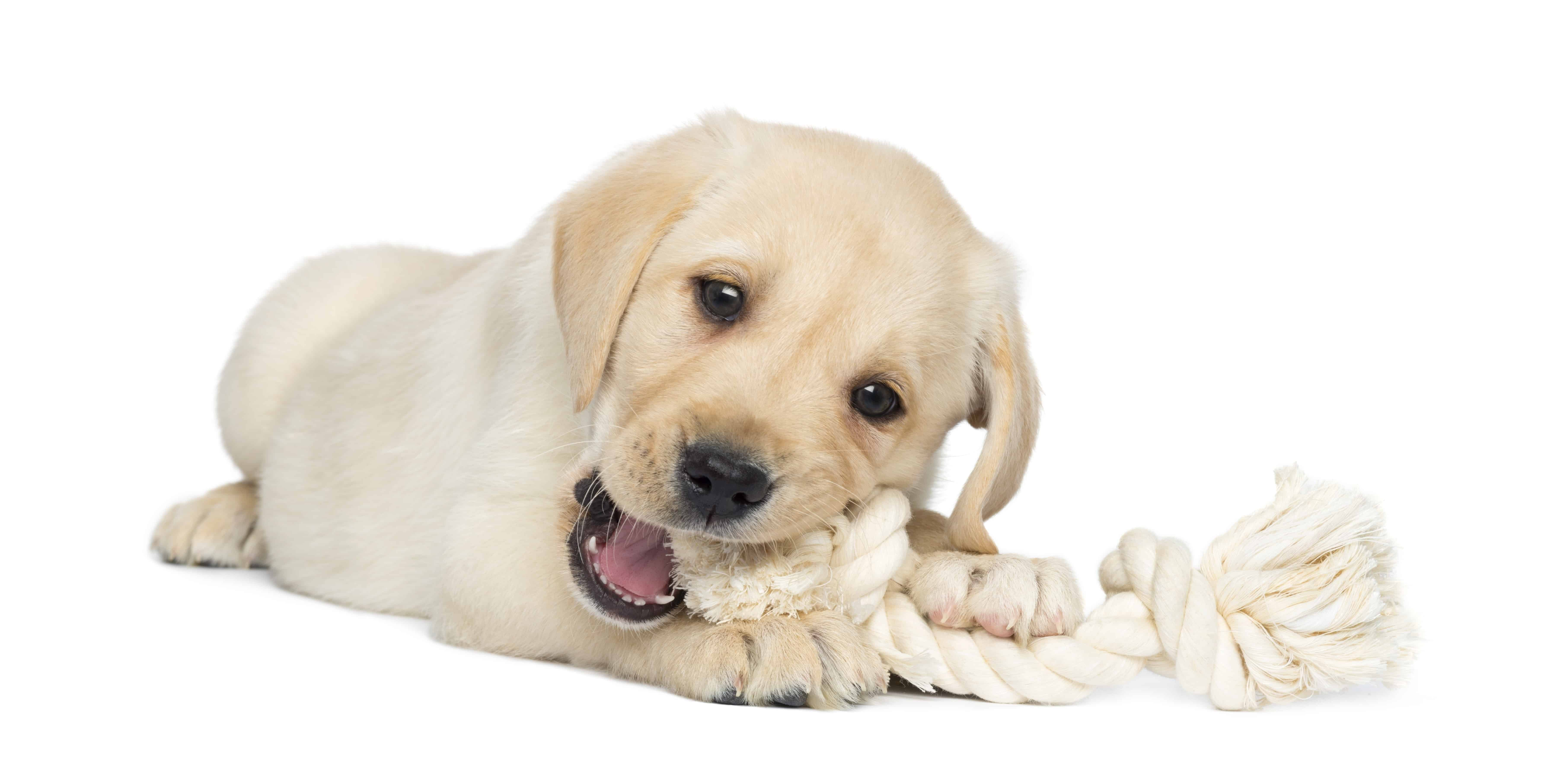 Dog chewing on dog toy, dog toys