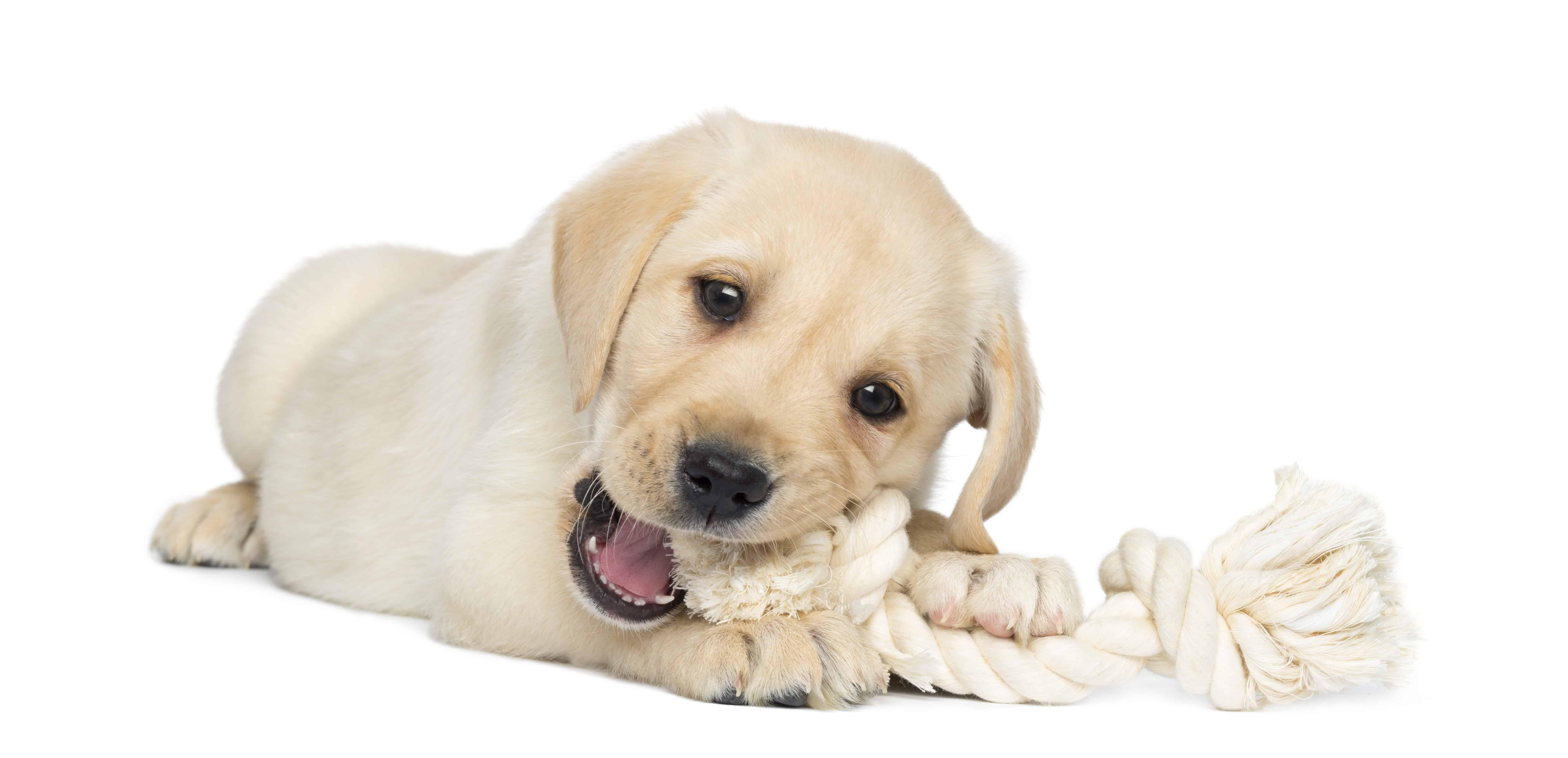 Dog chewing on dog toy, dog toys