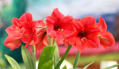 Amaryllis poisonous for Dogs