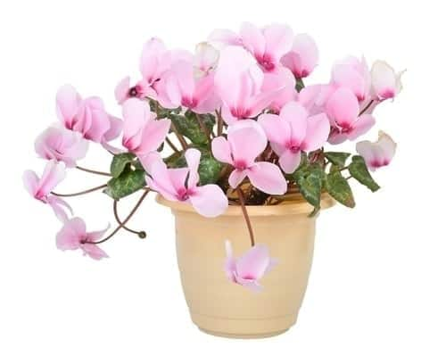 Cyclamen Poisonous for Dogs