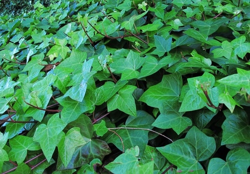 Ivy poisonous for Dogs