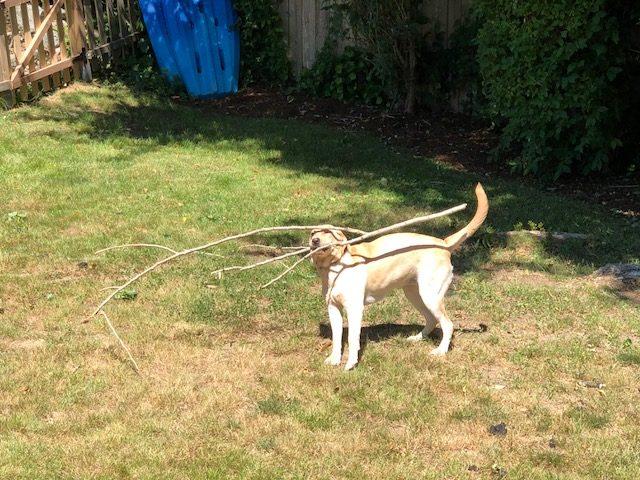 Dog Izzy and sticks