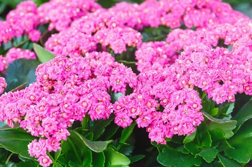 Kalanchoe poisonous for Dogs