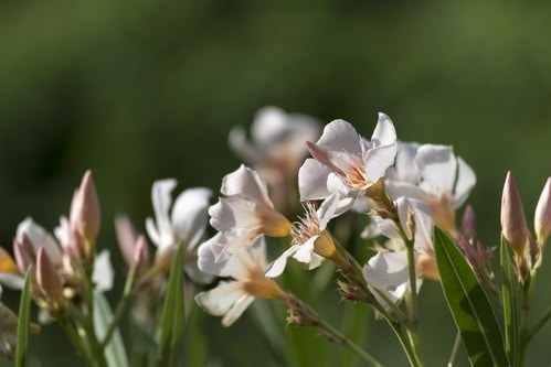 Oleander poisonous for Dogs