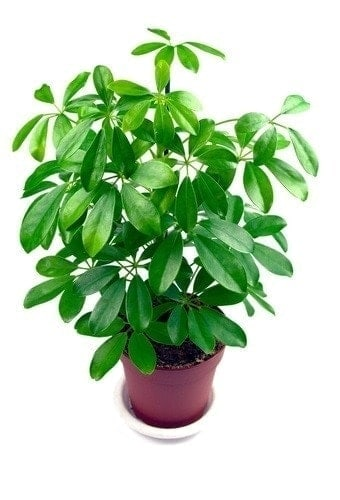 Pothos poisonous for Dogs