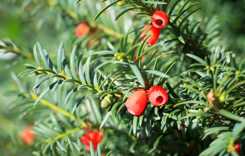Yew poisonous for Dogs