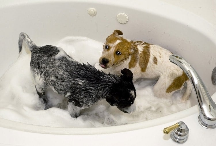 Bathing a dog all natural shampoo