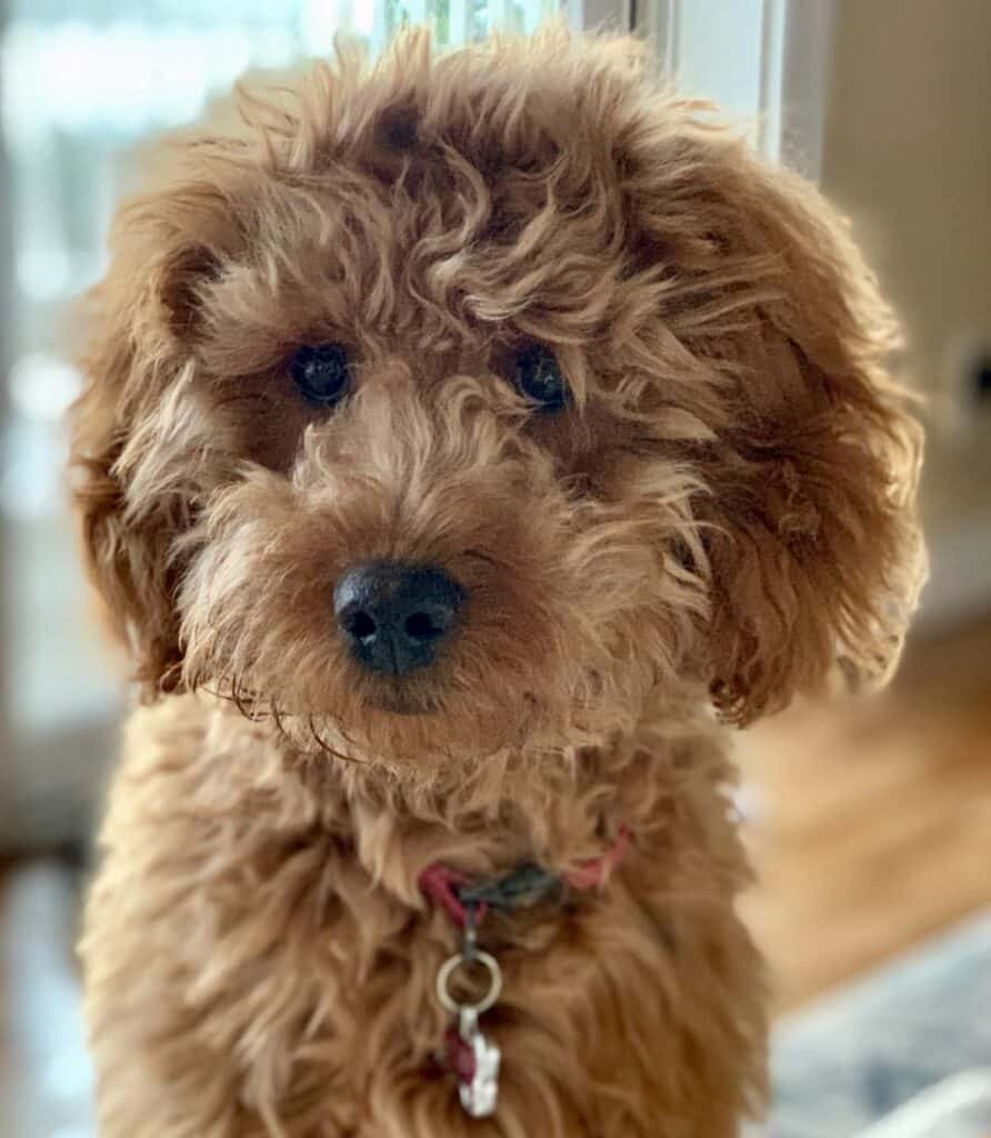 A Goldendoodle named Ruby