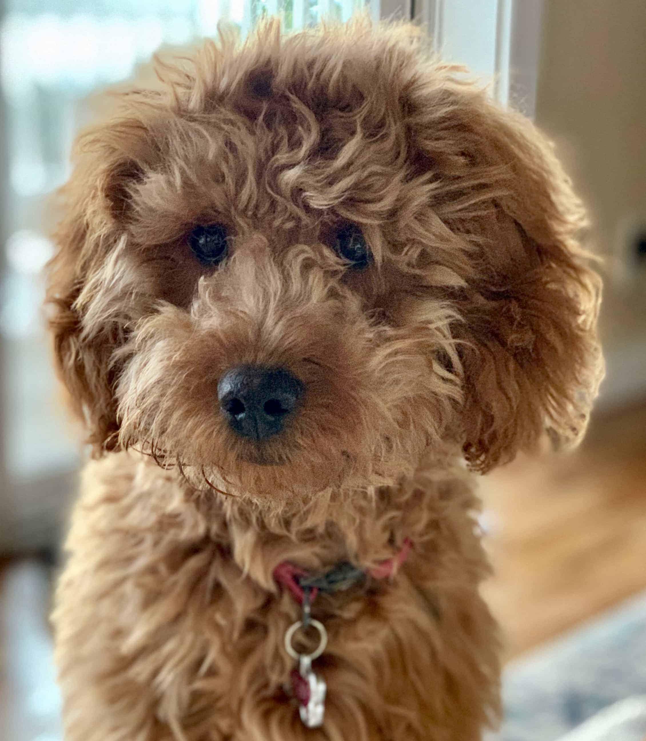 A Goldendoodle named Ruby