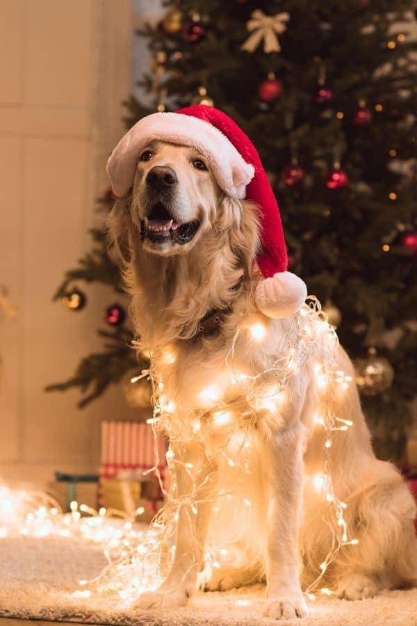 Dog Christmas safety