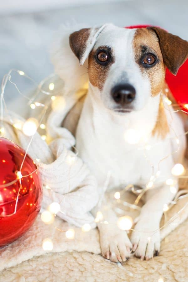 Dogs at Christmas